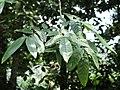 Fraxinus malacophylla - Kunming Botanical Garden - DSC02964.JPG