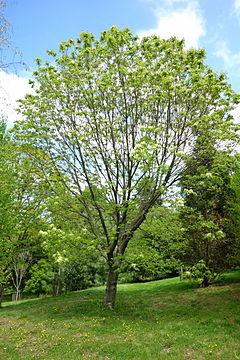 оксен дърво Ясен – Уикипедия оксен дърво