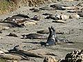 Frolicking elephant seals.JPG