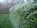 Frosty hedge, Bettws Cedewain - geograph.org.uk - 1068982.jpg