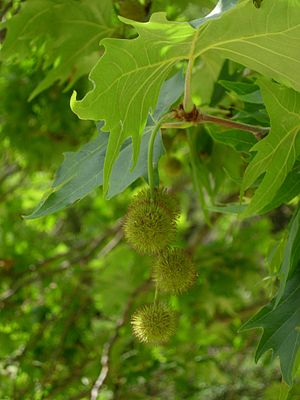 Platanus orientalis - Fruits and leaves of Oriental plane