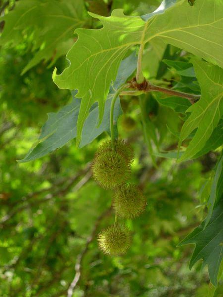 détail des feuilles et samare du platane d'Orient