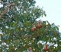 Frutos con semillas de caobo.jpg