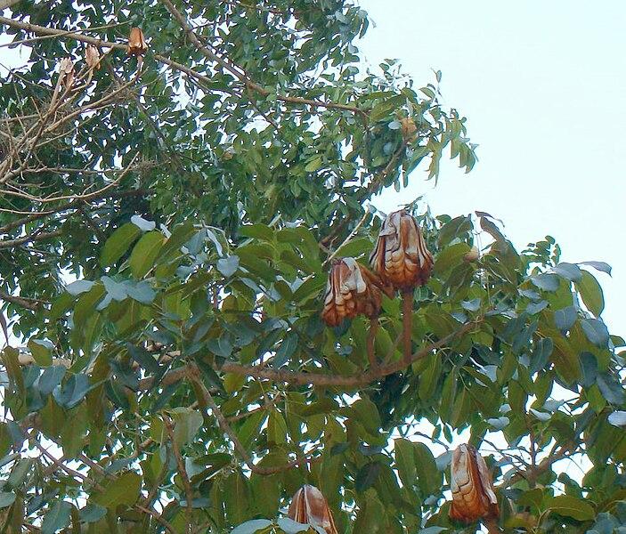 Berkas:Frutos con semillas de caobo.jpg