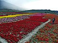 Fuli Flower Carpet 富里花海 - panoramio.jpg