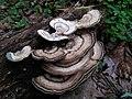 Fungus Anamalais IMG20170901151142.jpg