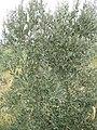 Güven ORHAN`ın Özel Zeytin Ağacı - panoramio.jpg