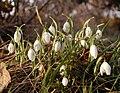 Galanthus Nivalis (Common Snowdrop).jpg