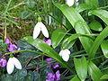 Galanthus woronowii3.jpg