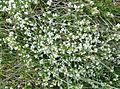 Galium saxatile - Heath Bedstraw. Bigholm Hill, Beith, Ayrshire, Scotland.jpg