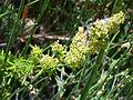 Galium verum subsp. verum Habitus 2010-7-17 SierradeAlfacar.jpg
