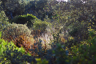 Garrigue type of low, soft-leaved scrubland ecoregion and plant community