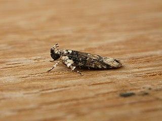 <i>Ardozyga sodalisella</i> species of insect