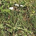Gemeine Schafgarbe Achillea millefolium 2291.jpg