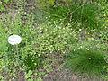 Genista germanica - Botanischer Garten, Frankfurt am Main - DSC02600.JPG