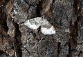Geometridae. Larentiini. Xanthorrhoe sp. - Flickr - gailhampshire.jpg