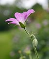 Geranium by Keven Law.jpg