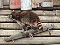 Gewone wasbeer (16869730910).jpg