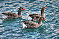 Gfp-geese-swimming-in-water.jpg