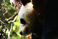 Giant Panda in a Tree (4236662158).jpg