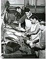 Gilling and gutting Skipjack Tuna (1966).jpg