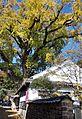 Ginkgo Tree Arita 01.jpg