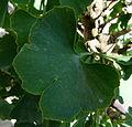 Ginkgo biloba leaves serres du Jardin du Luxembourg 1.JPG