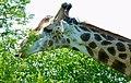 Giraffe (Giraffa camelopardalis) male browsing ... (51199414473).jpg