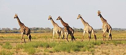 Giraffes in Chobe National Park 01.jpg
