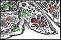 Glande de mue chez Poecilopachys.jpg