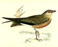 Glareola ocularis 1868.jpg