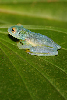 Glass frog - Wikipedia