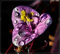 Glistening Purple Heart - Flickr - pinemikey.jpg