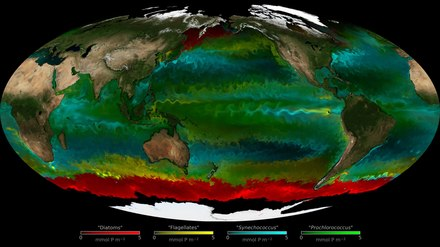 Seasonal changes in which phytoplankton type dominates – NASA This visualization indicates seasonal changes in which phytoplankton types dominated over the period 1994-1998.  • Red = diatoms (big phytoplankton, which need silica)  • Yellow = flagellates (other big phytoplankton)  • Green = prochlorococcus (small phytoplankton that cannot use nitrate)  • Cyan = synechococcus (other small phytoplankton) Opacity indicates concentration of the carbon biomass. In particular, the role of the swirls and filaments (mesoscale features) appear important in maintaining high biodiversity in the ocean.[2][3]