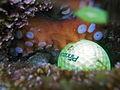 Gloomy Octopus-Octopus tetricus with golf ball (8697712298).jpg