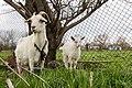 Goats in Ubezhenskaya.jpg
