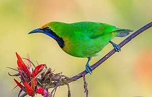 Golden-fronted Leafbird সোনাকপালি হরবোলা ।.jpg