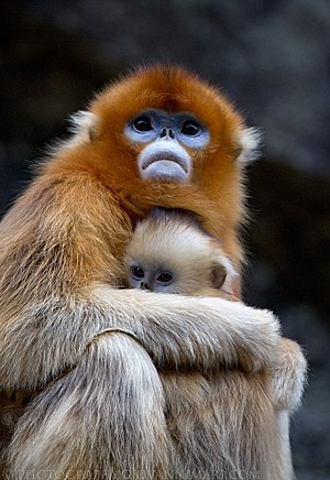 Golden snub-nosed monkey - Image: Golden Snub nosed Monkeys, Qinling Mountains China