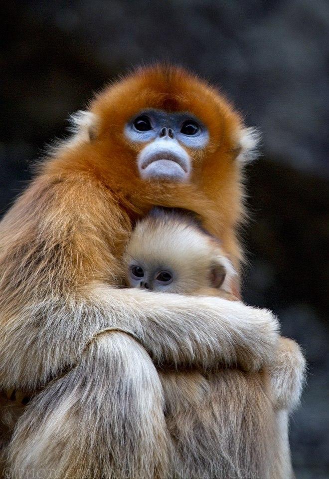 Golden Snub-nosed Monkeys, Qinling Mountains - China