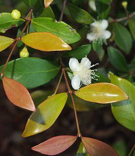 <i>Gossia bidwillii</i> Species of tree