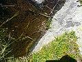 Granota entre el Prat Fondal i l'estany Mal P1300526.jpg