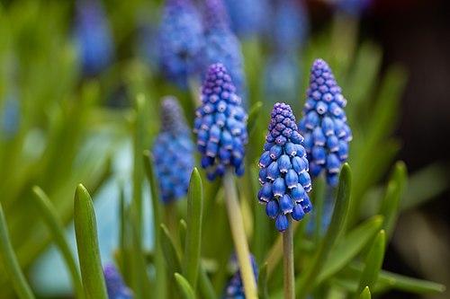 Grape Hyacinth Macro.jpg