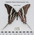 GraphiumRhesusMUpUnAC1.jpg