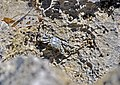 Grapsus grapsus (Sally lightfoot crab) (San Salvador Island, Bahamas) 1 (16030619022).jpg