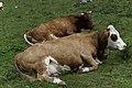 Grasende Kühe am Wegesrand im Seebachtal 20190820 014.jpg