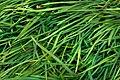 Grass Texture - HDR (7995269864).jpg