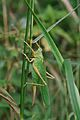 Grass hopper (7735180022).jpg