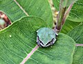 Gray Treefrog on Milkweed (36389100904).jpg