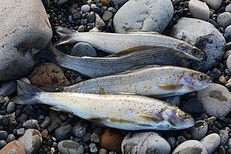Arctic grayling - Arctic grayling caught in the Colville River of Alaska