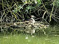 Great Crested Grebe on Nest.jpg